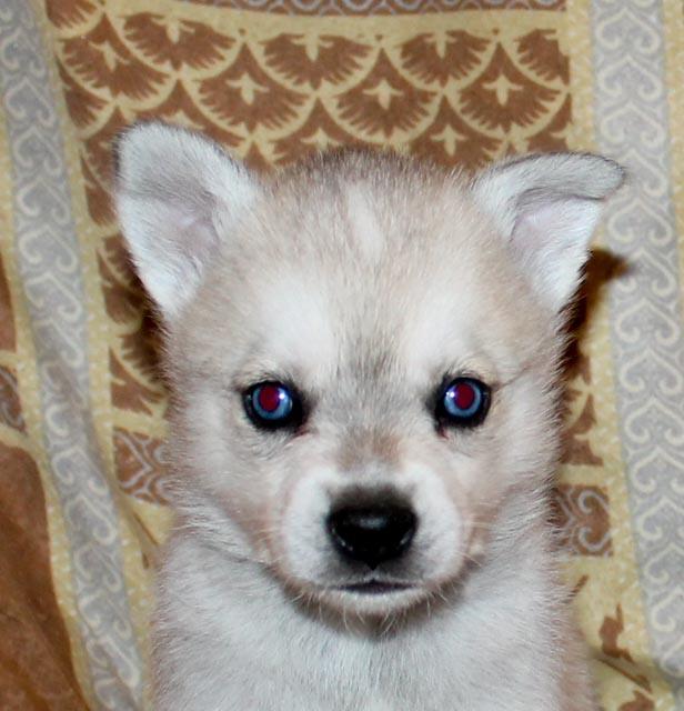 Grey and white blue eyed boy.
