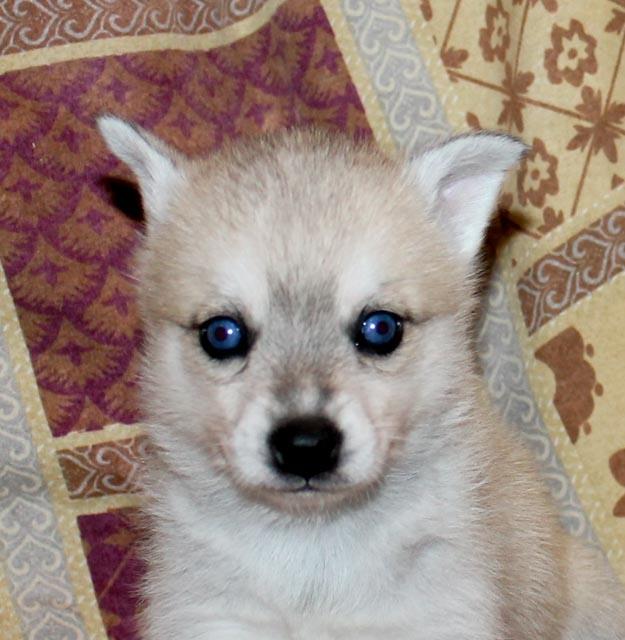 Grey and white blue eyed girl.