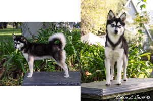 Klee Kai- Dolly-3274 copy