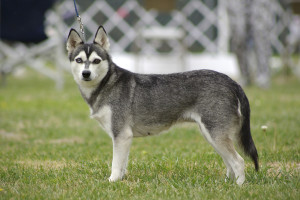 Adult Male Alaskan Klee Kai