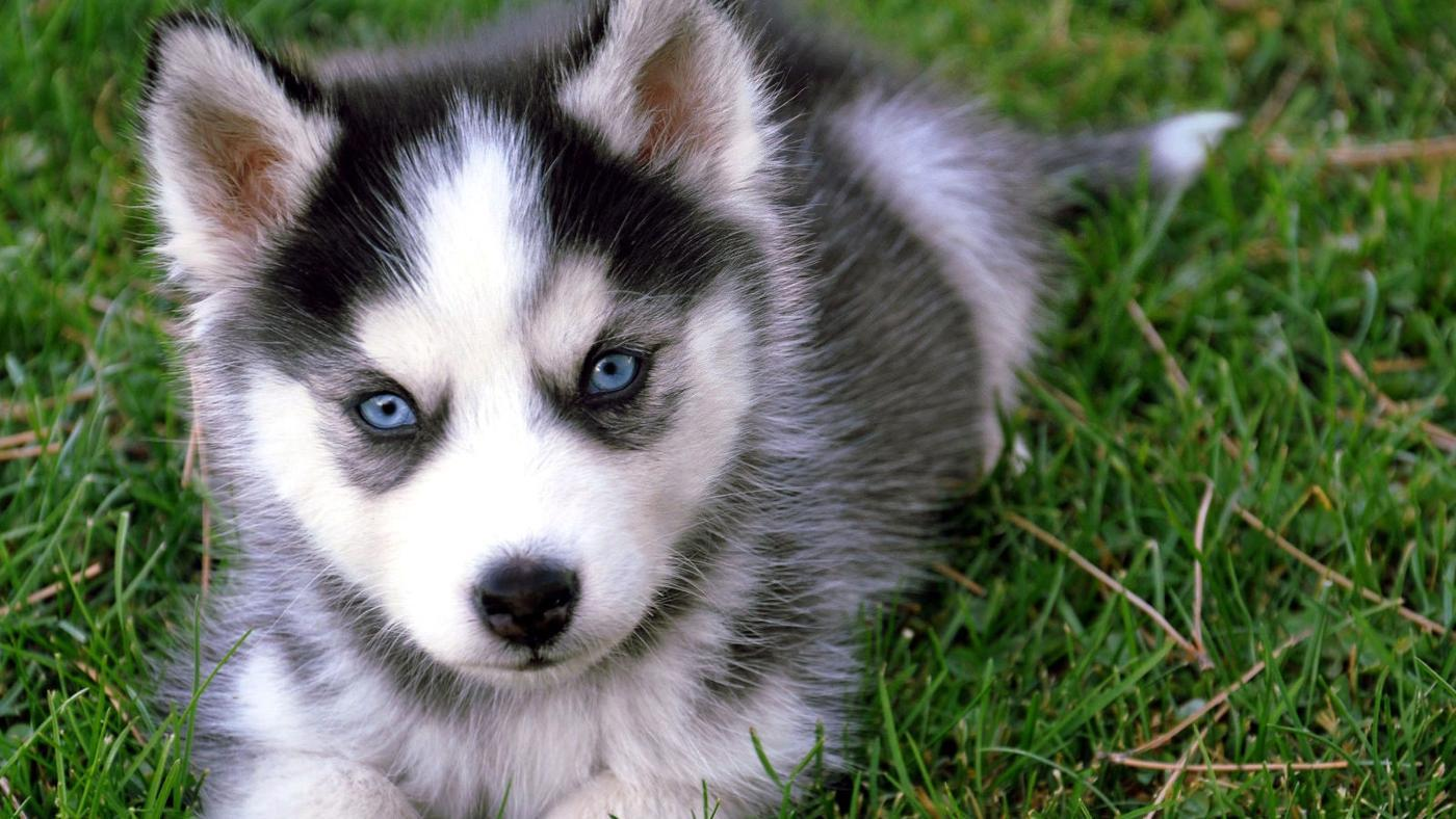 Bay Areasan Fran Alaskan Klee Kai Puppies For Sale By Breeder