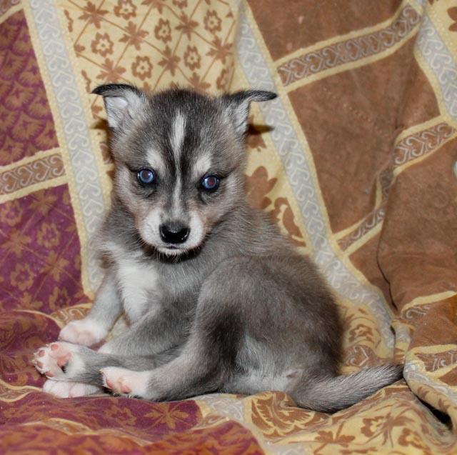 Alaskan Klee Kai for Adoption