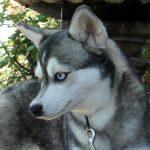 Alaskan Husky Female - Felicity