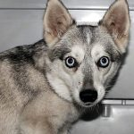 Alaskan Klee Kai Female - Irisi