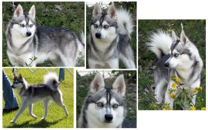 Adult Male Alaskan Klee Kai from Nordic Mini Huskys
