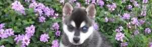 Female Alaskan Klee Kai Breed