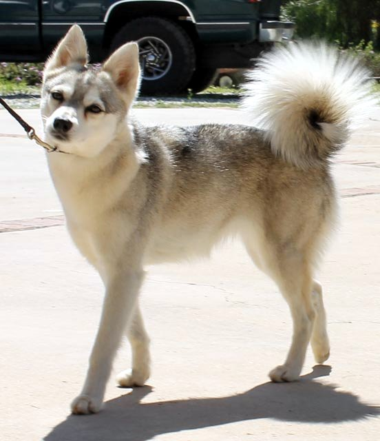 Do Alaskan Klee Kai Shed Hair Nordic