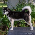 Female Klee Kai Dolly