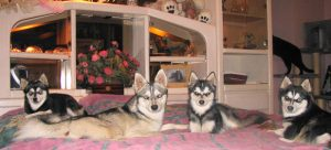 Husky Kennel in the bedroom