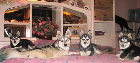 Husky Kennel in the bedroom