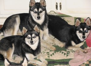 Klee Kai Breed