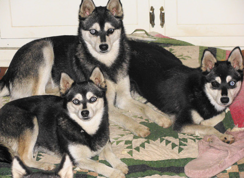 Alaskan Klee Kai Breeder in Oregon