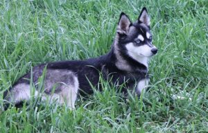 Female Alaskan Klee Kai Dog from Nordic Mini Huskys