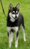 Nordic Mini Huskies - Athena