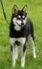 Nordic Mini Huskies - Athena