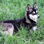 Nordic Mini Husky Female Diana