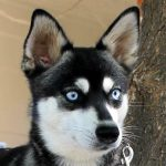 Phoebe - Female Alaskan Husky