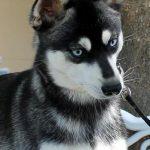 Phoebe - Miniature Husky Dog