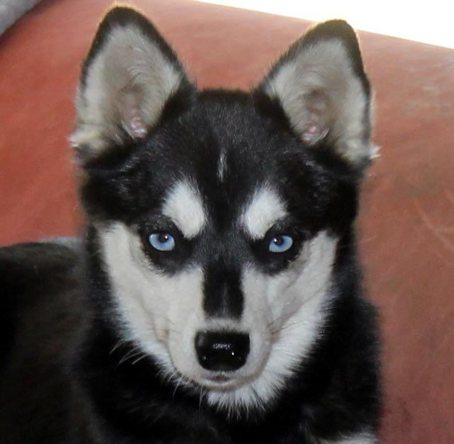 Miniature Alaskan Klee Kai Puppies For Sale Bay Areasan Francisco