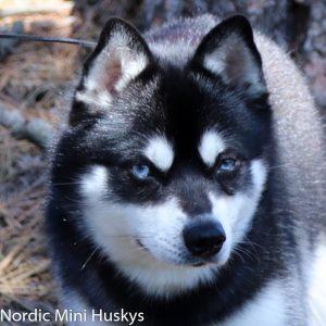nordic-mini-husky-pax01