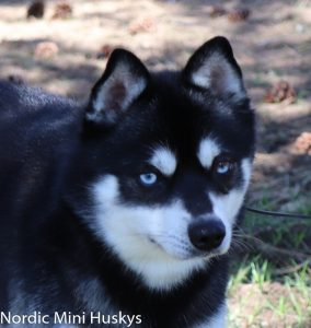 nordic-mini-husky-pax03