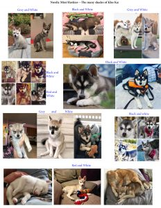 The Many Shades of Klee Kai
