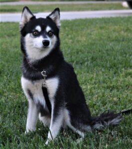 Male - Aries - Alaskan Husky