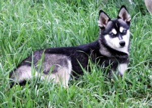Female - Diana - Alaskan Husky