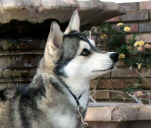 Female - Felicity - Alaskan Husky
