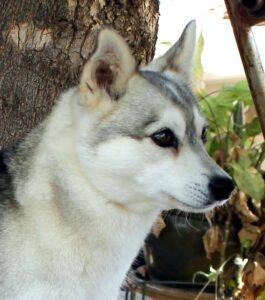 Female - Fortuna - Alaskan Husky