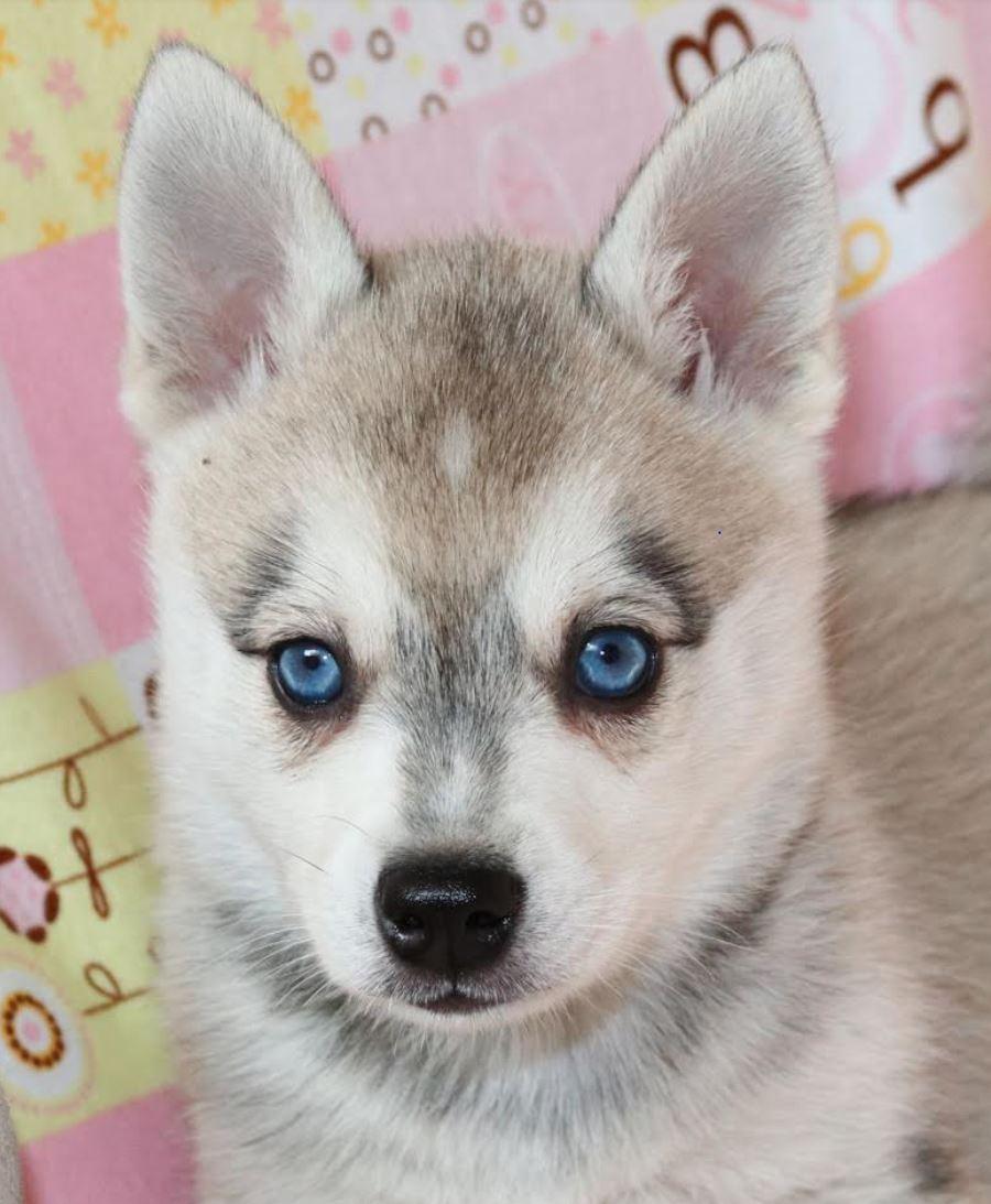 Alaskan Klee Kais for adoption - Image 1