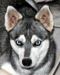 Female - Irene - Alaskan Husky