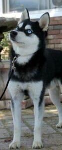 Male - Adonis - Alaskan Husky