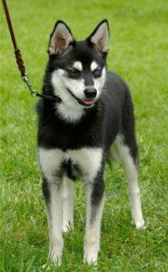 Female - Athena - Alaskan Husky