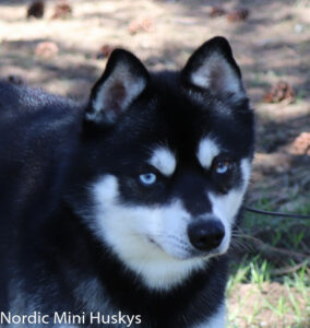 Male - PAX - Alaskan Husky