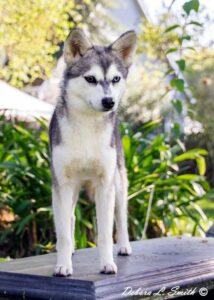 Female - Nyx - Alaskan Husky