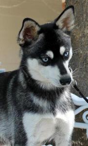 Female - Phoebe - Alaskan Husky
