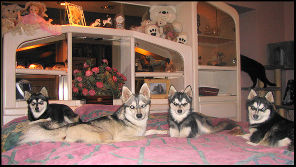 Alaskan klee Kai ready for bed at Nordic Mini Huskys